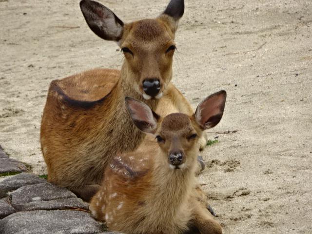 厳島神社 鹿
